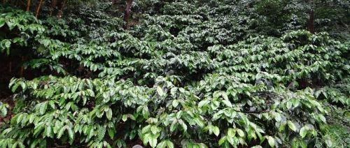 Robusta Coffea Pflanze Anbau