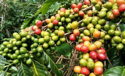 arabica bohnen anbau